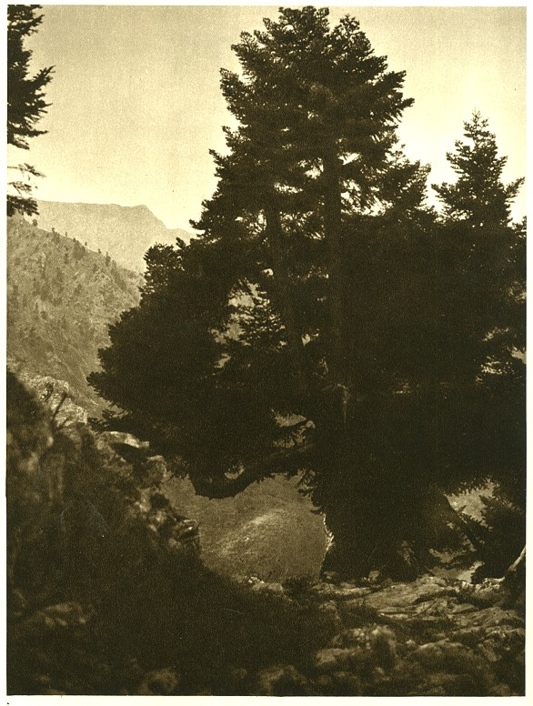 Pine tree in the mountains